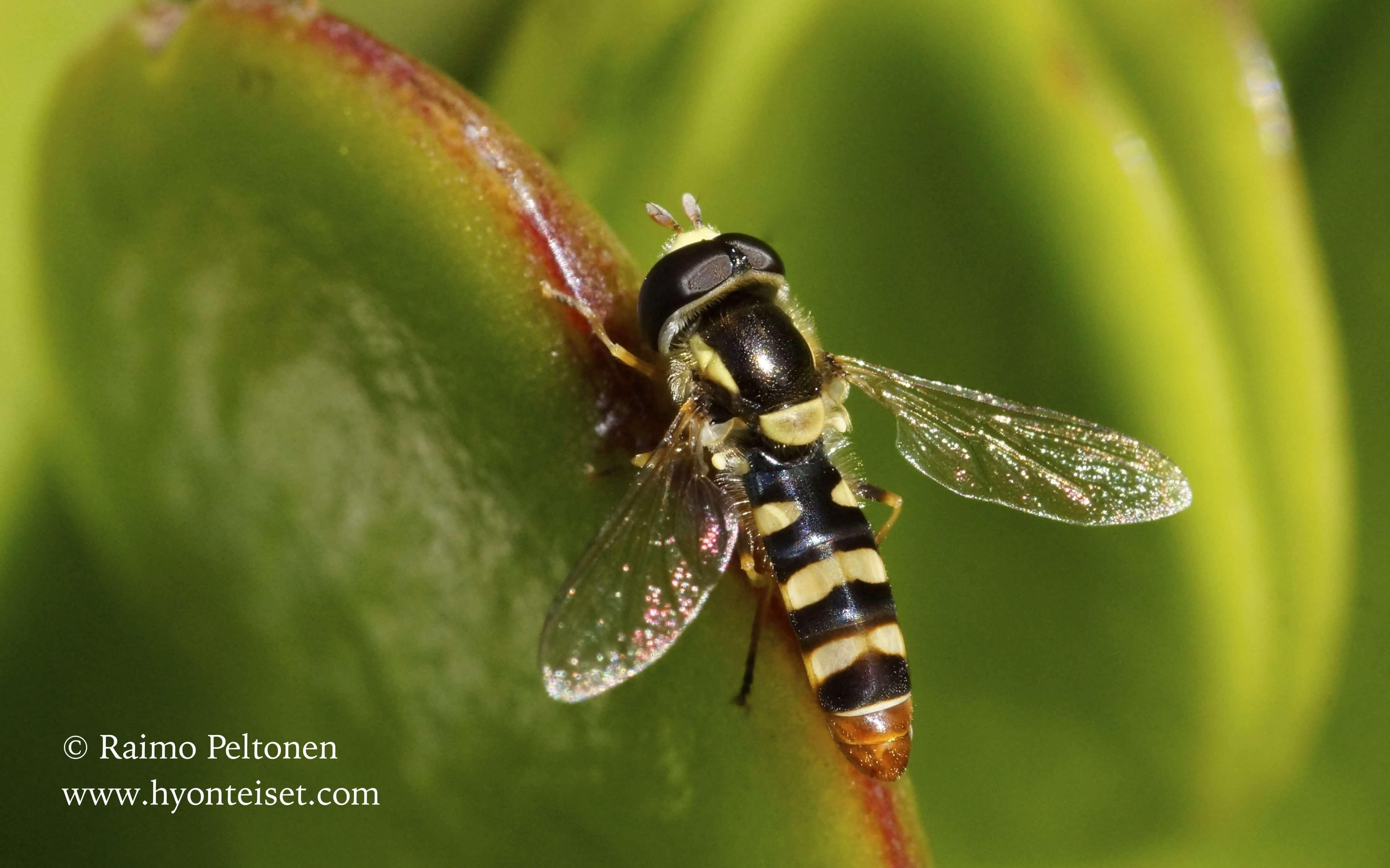 Simosyrphus aegyptius (Syrphidae) MADEIRA