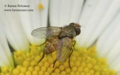 Siphona sp. 1