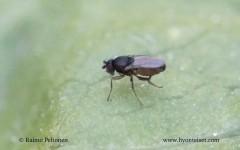 Sphaeroceridae sp. 2