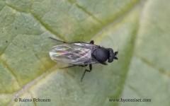Sphaeroceridae sp. 1