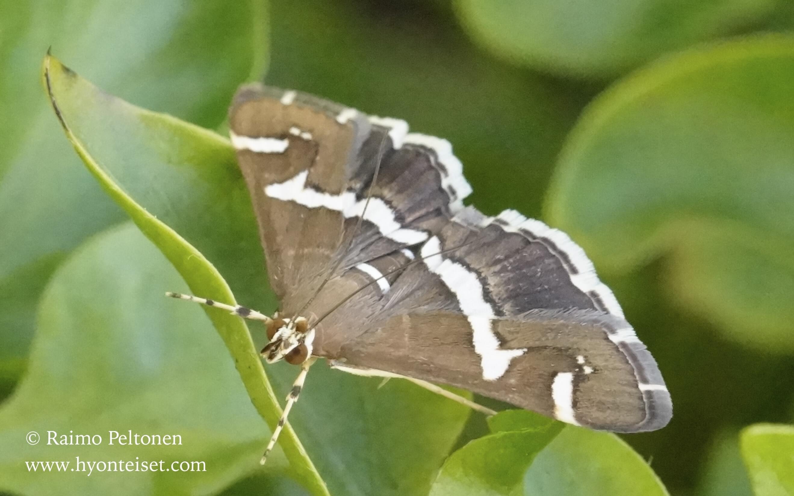 Spoladea recurvalis (Crambidae) (det. Jose Fernandez) GRAN CANARIA