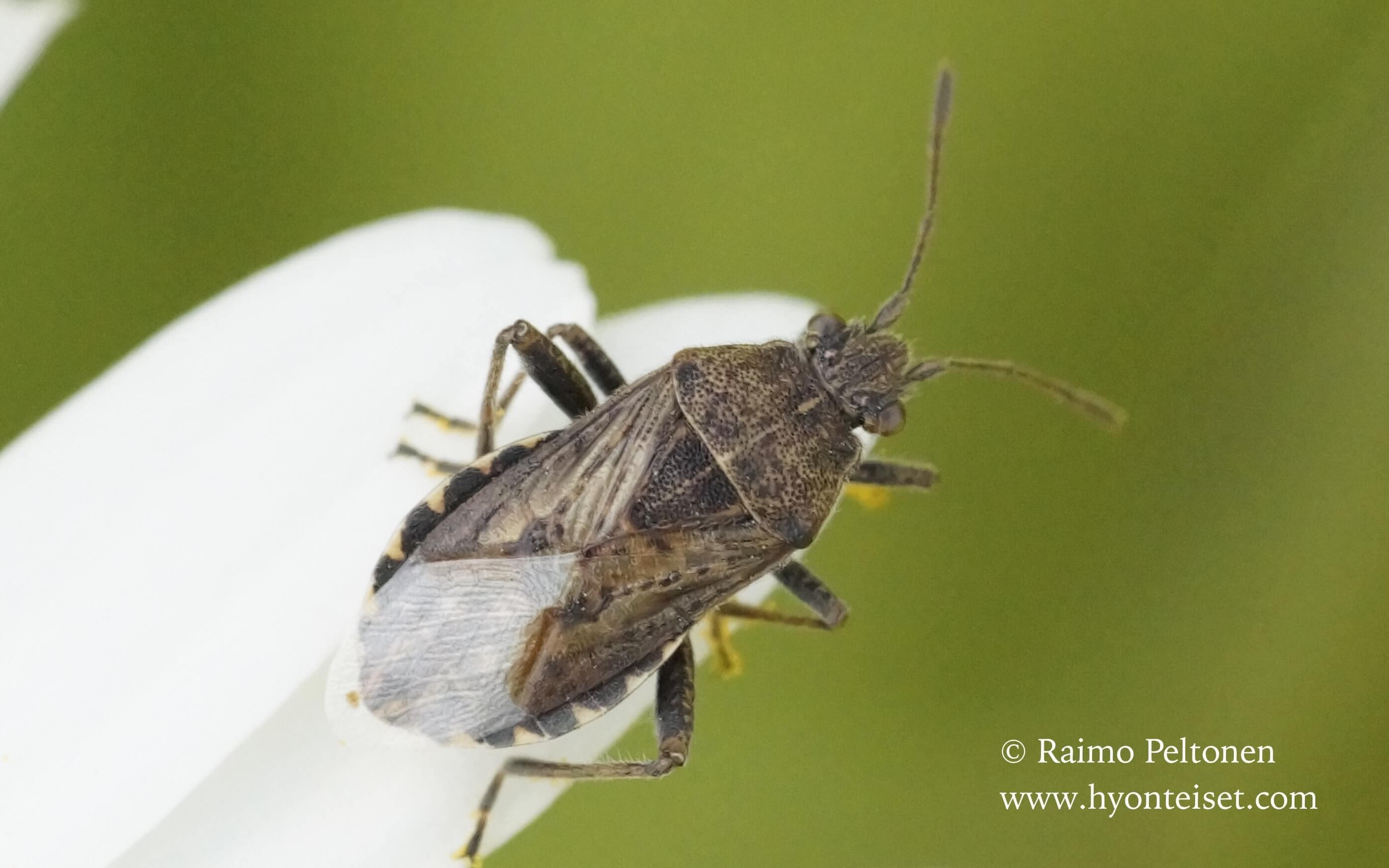 Stictopleurus cf. punctatonervosus Stictopleurus cf. punctatonervosus-kaakonkoukerolude (det. Veikko Rinne)