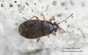 Stygnocoris cf. sabulosus