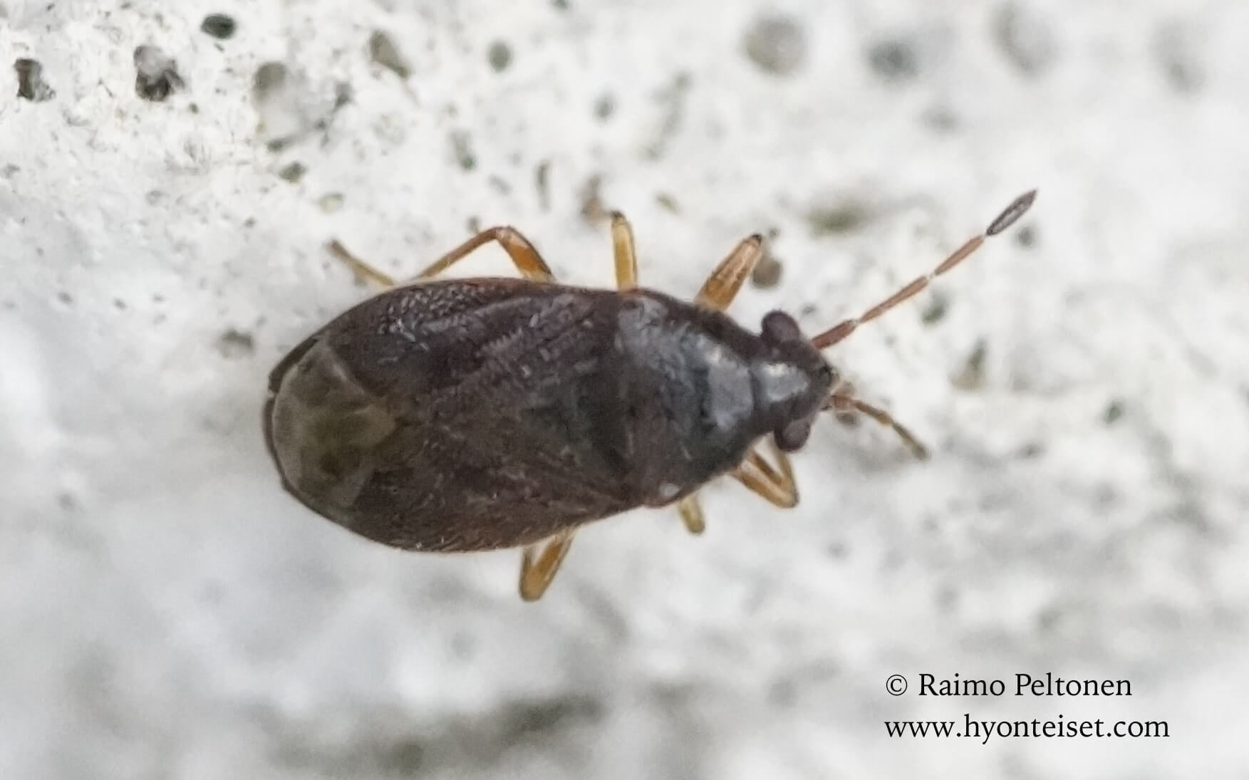 Stygnocoris cf. sabulosus-ruskonukkalude