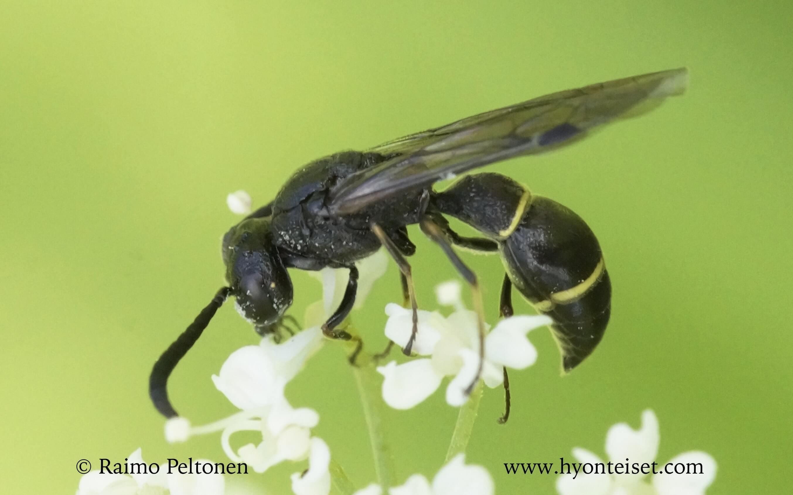 Symmorphus allobrogus-hirsisorjoampiainen (det. Juho Paukkunen)