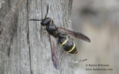 Symmorphus bifasciatus 1