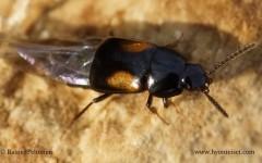 Tachinus subterraneus 2
