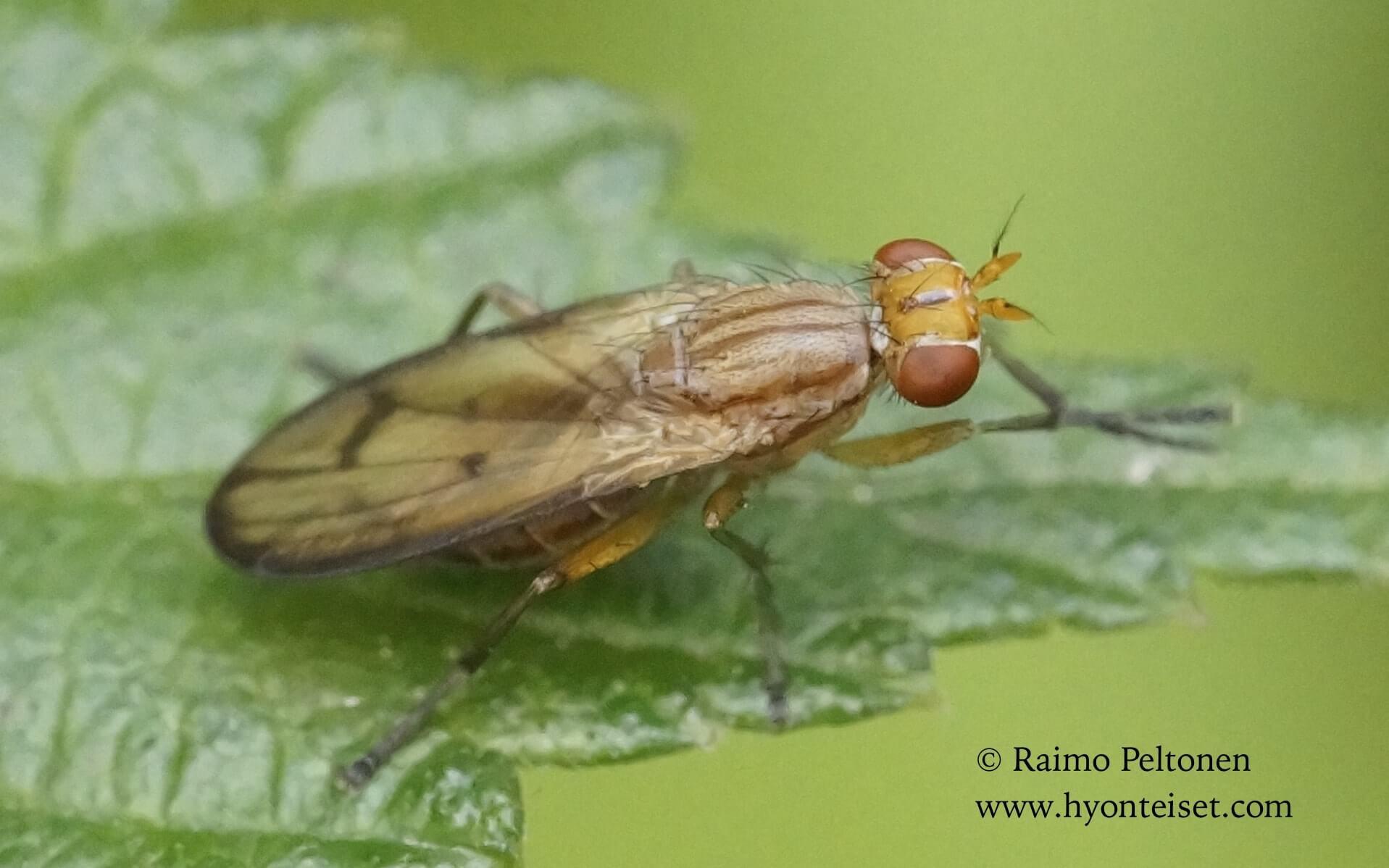 Tetanocera phyllophora (det. Kaj Winqvist)