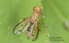 Tetanocera phyllophora 2