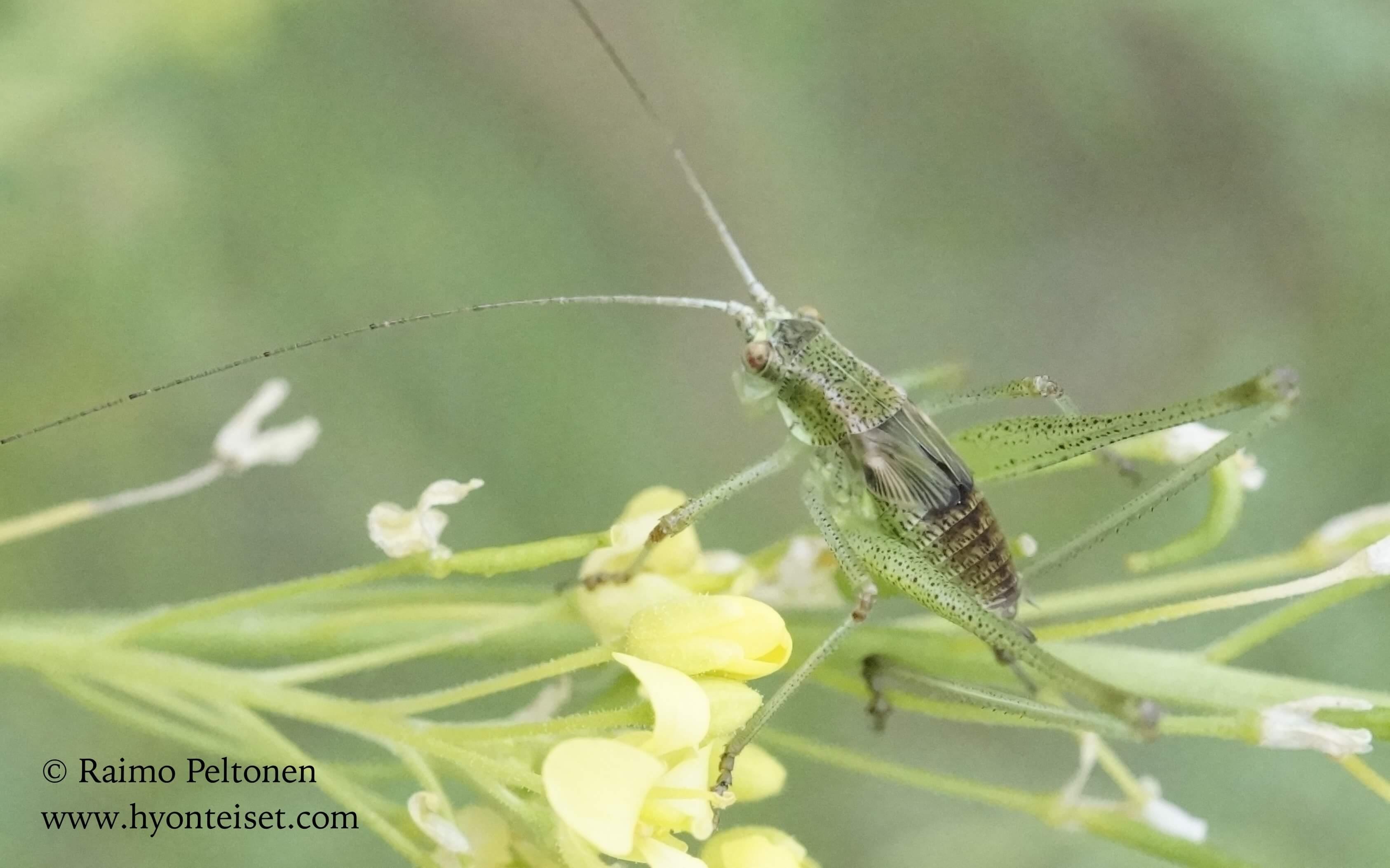 Tettigoniidae sp., nymfi GRAN CANARIA