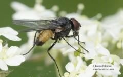 Thricops semicinereus 2