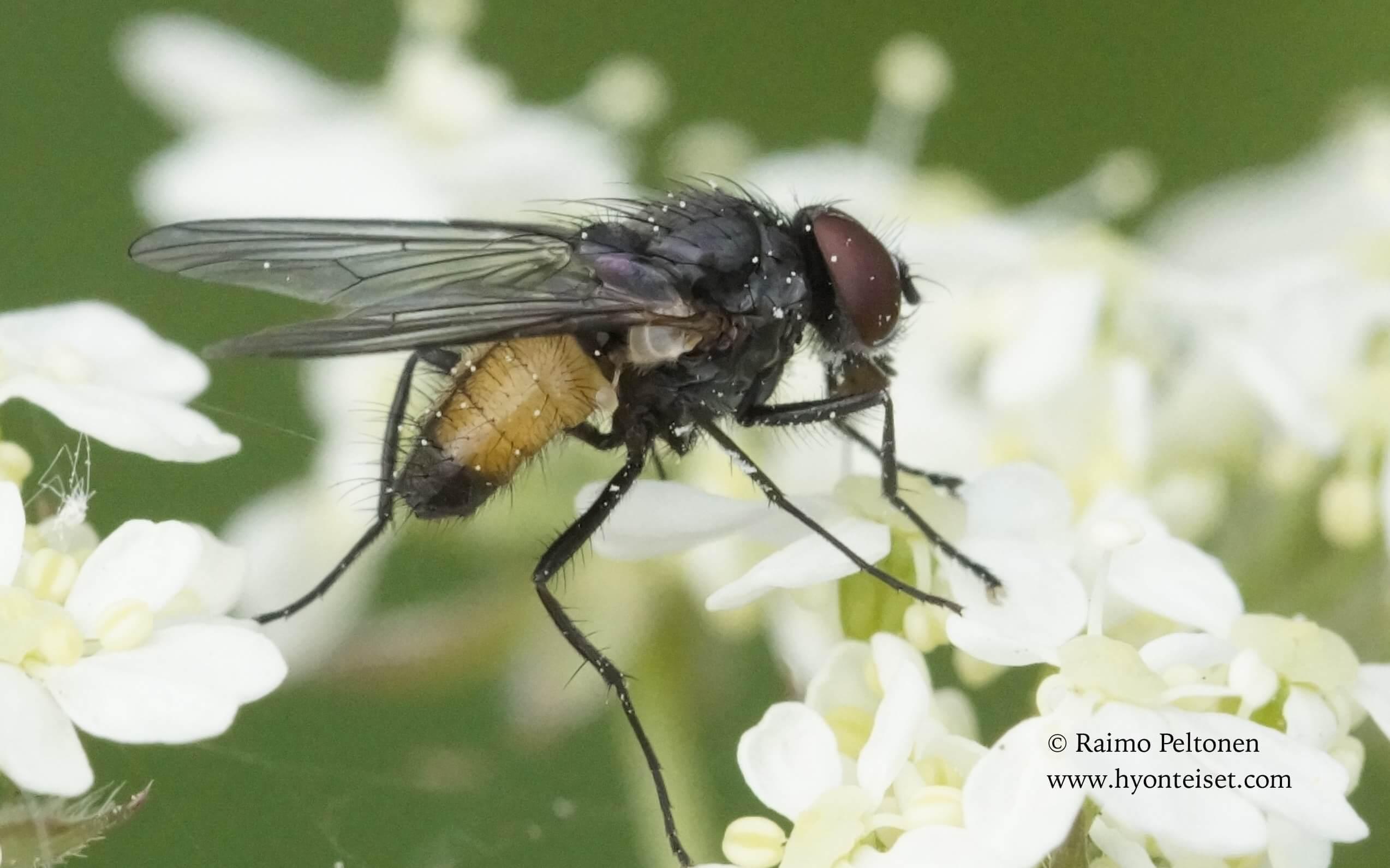 Thricops semicinereus (det. Kaj Winqvist)