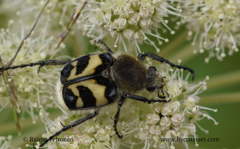 Trichius fasciatus-kimalaiskuoriainen