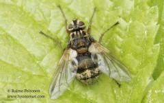 Trixa caerulescens 1