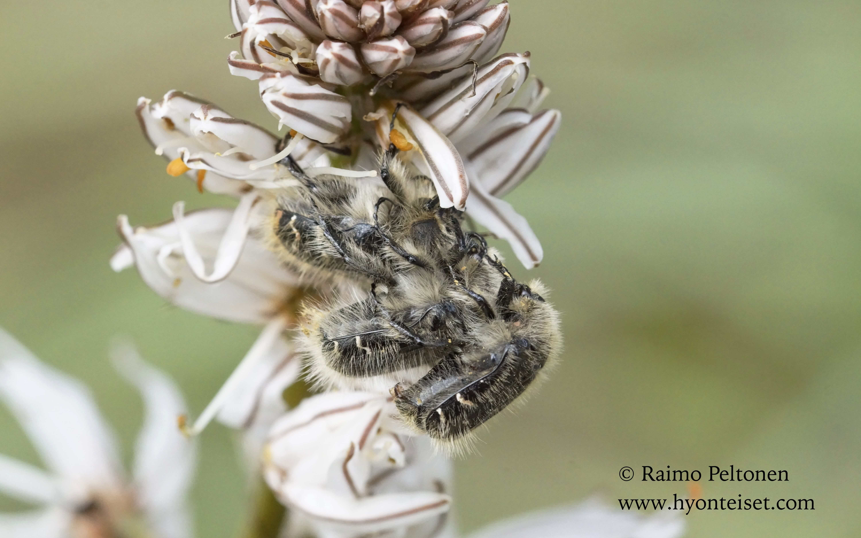 Trophinota hirta (Scarabaeidae) MALLORCA