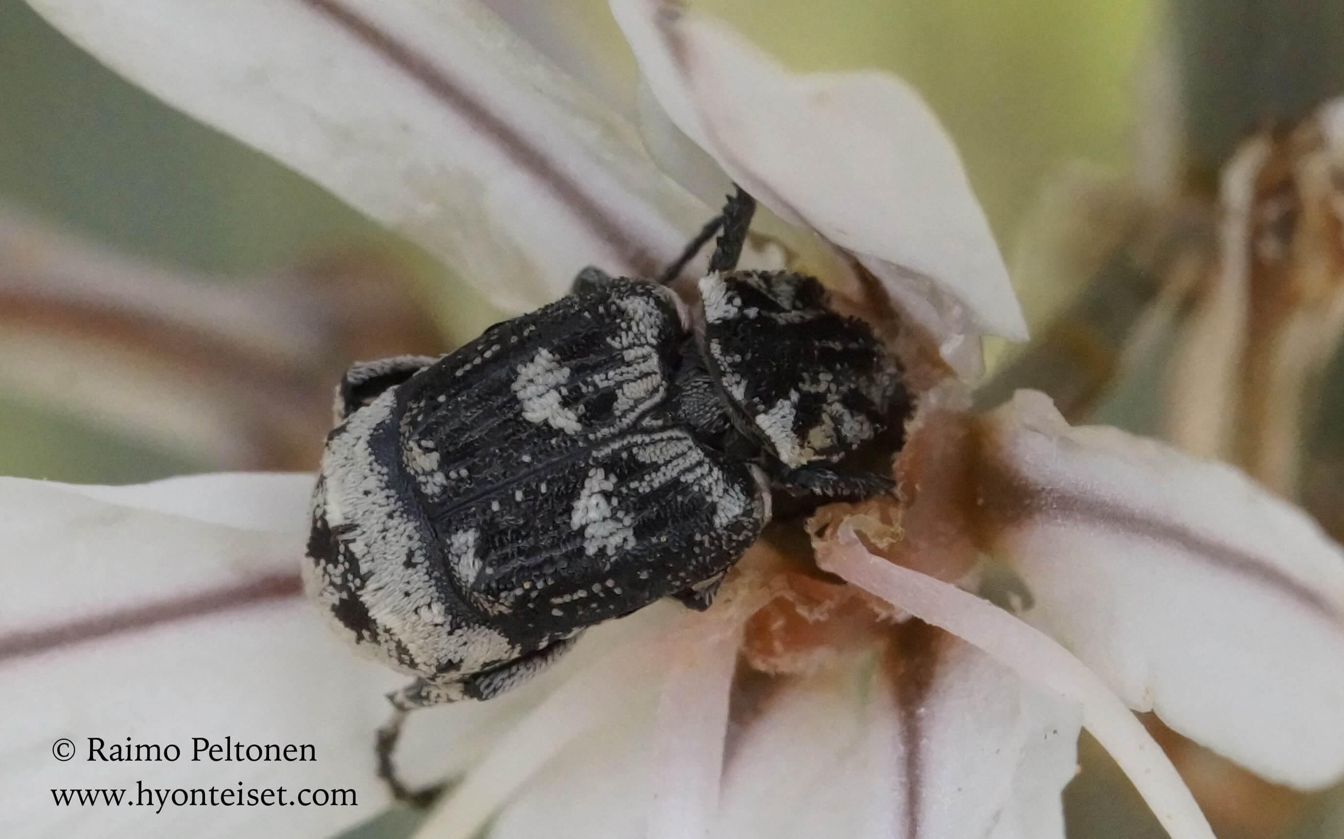 Valgus hemipterus (Scarabaeidae) MALLORCA