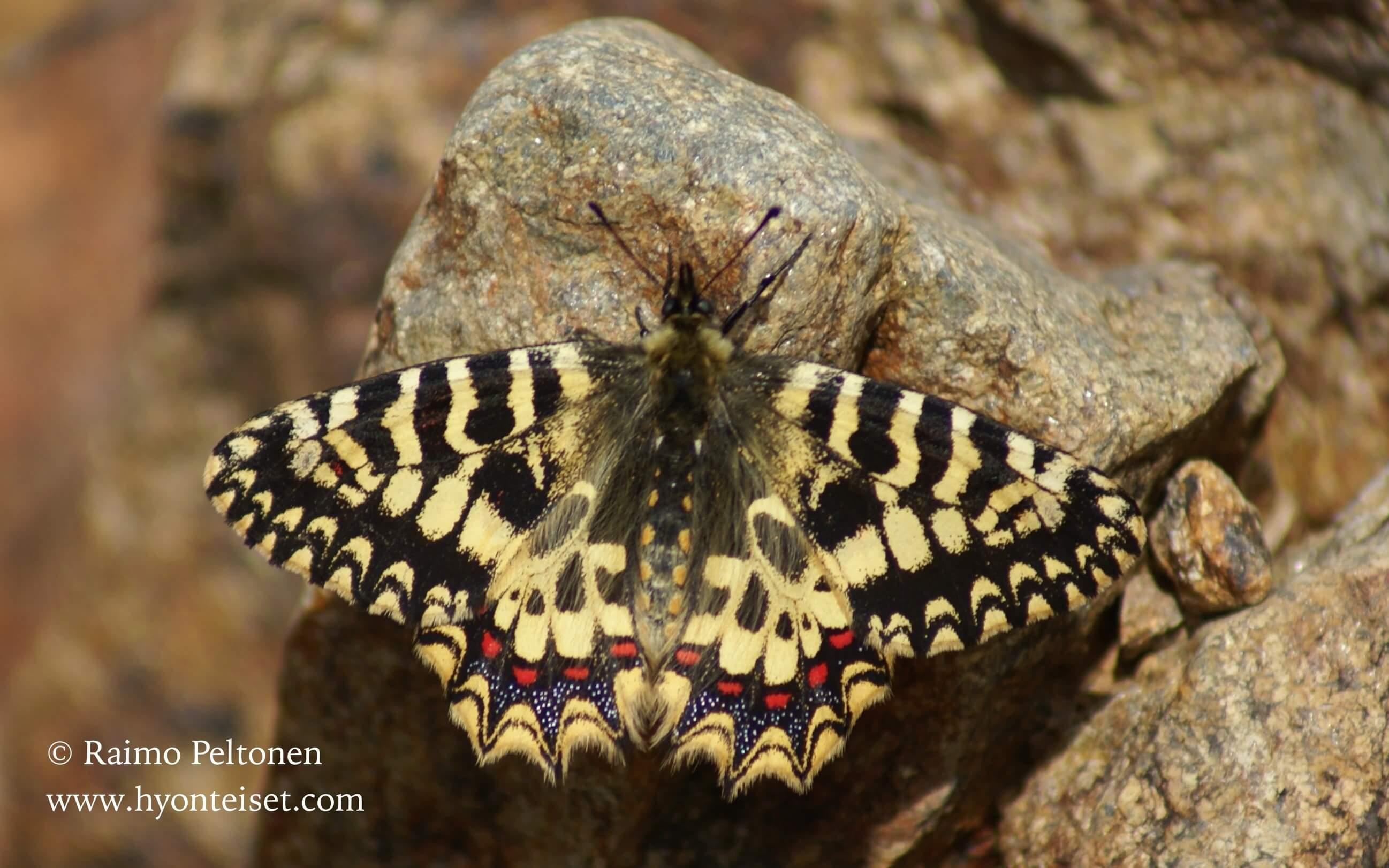 Zerynthia rumina-espanjankirjoapollo (Papillionidae) (det. Jussi Murtosaari)