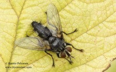 cf. Oswaldia muscaria