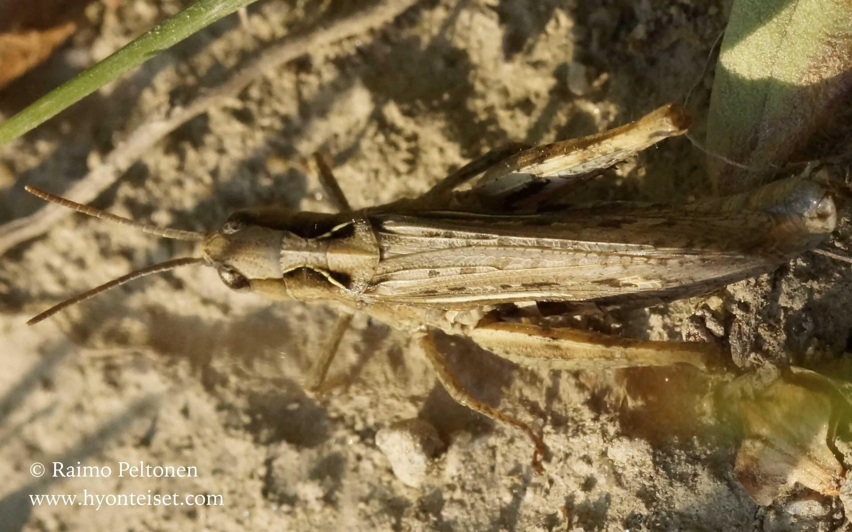 Chorthippus brunneus-ketoheinäsirkka