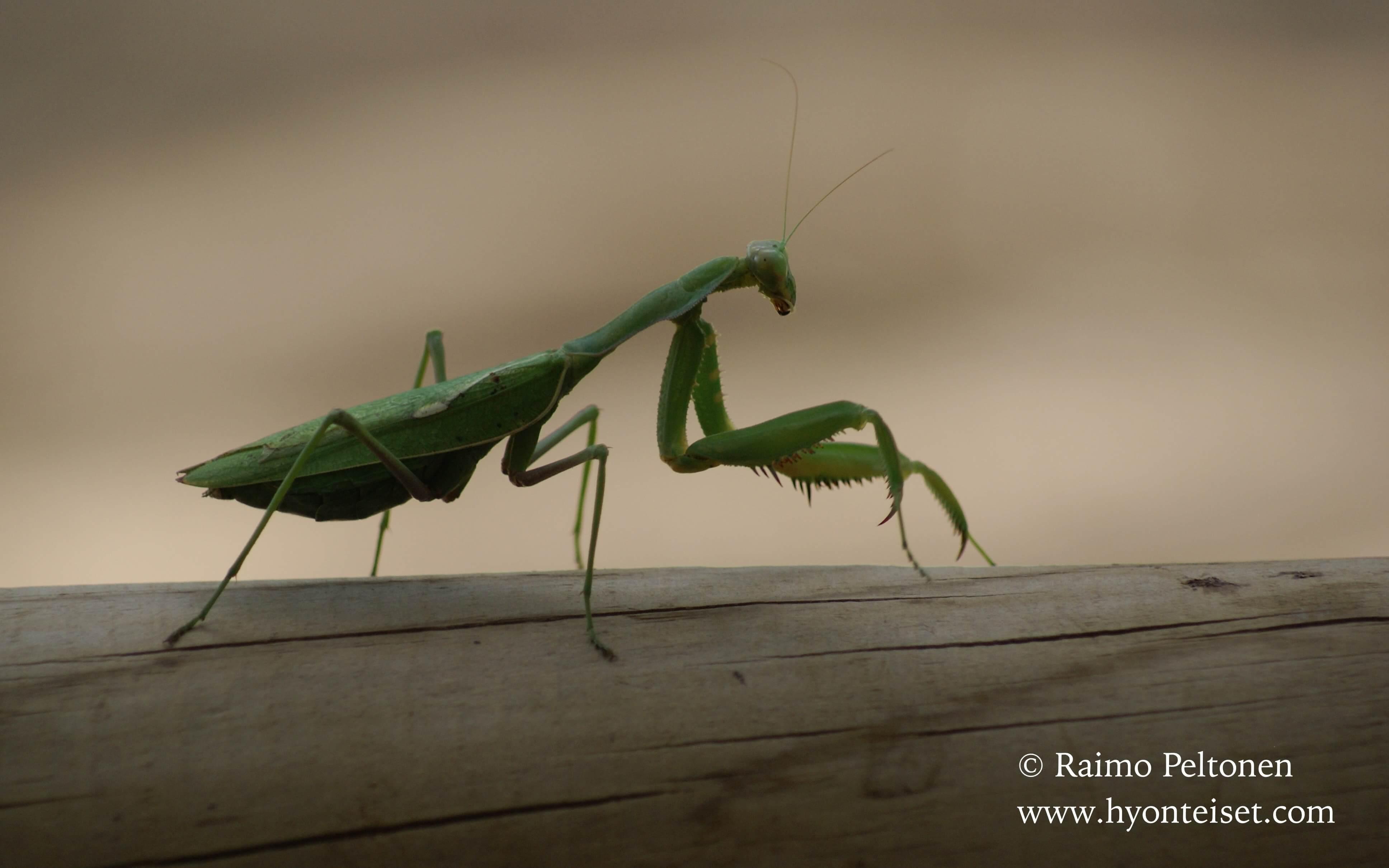 Mantis religiosa-Eurooppalainen rukoilijasirkka (Mantodea) ESPANJA