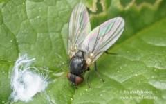 Agromyza sp. 2