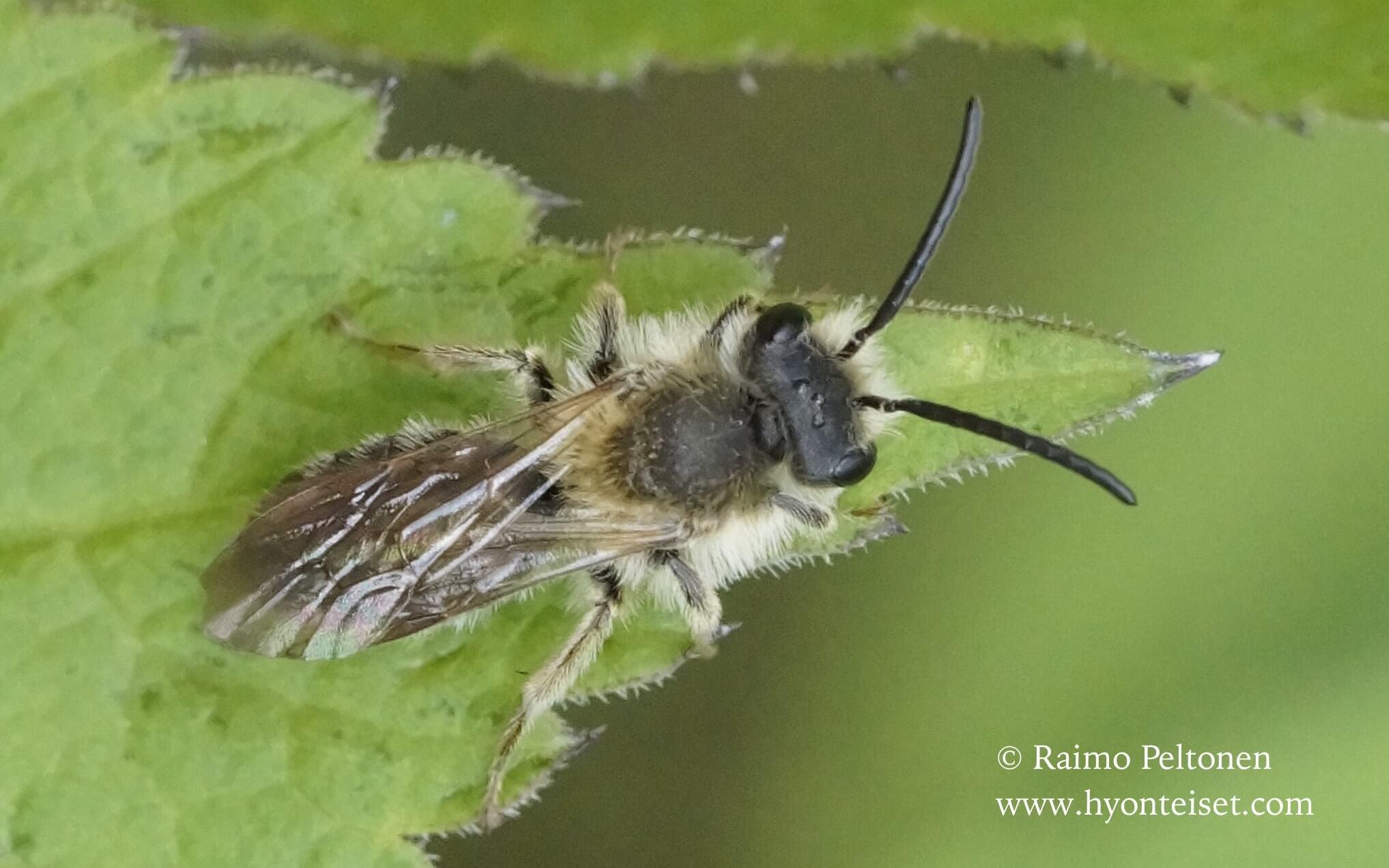Andrena haemrrhoa-verimaamehiläinen, koiras