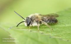 Andrena haemorrhoa 2