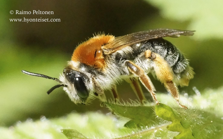 Andrena haemorrhoa-verimaamehiläinen, naaras (det. Juho Paukkunen)