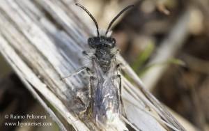Andrena praecox 1