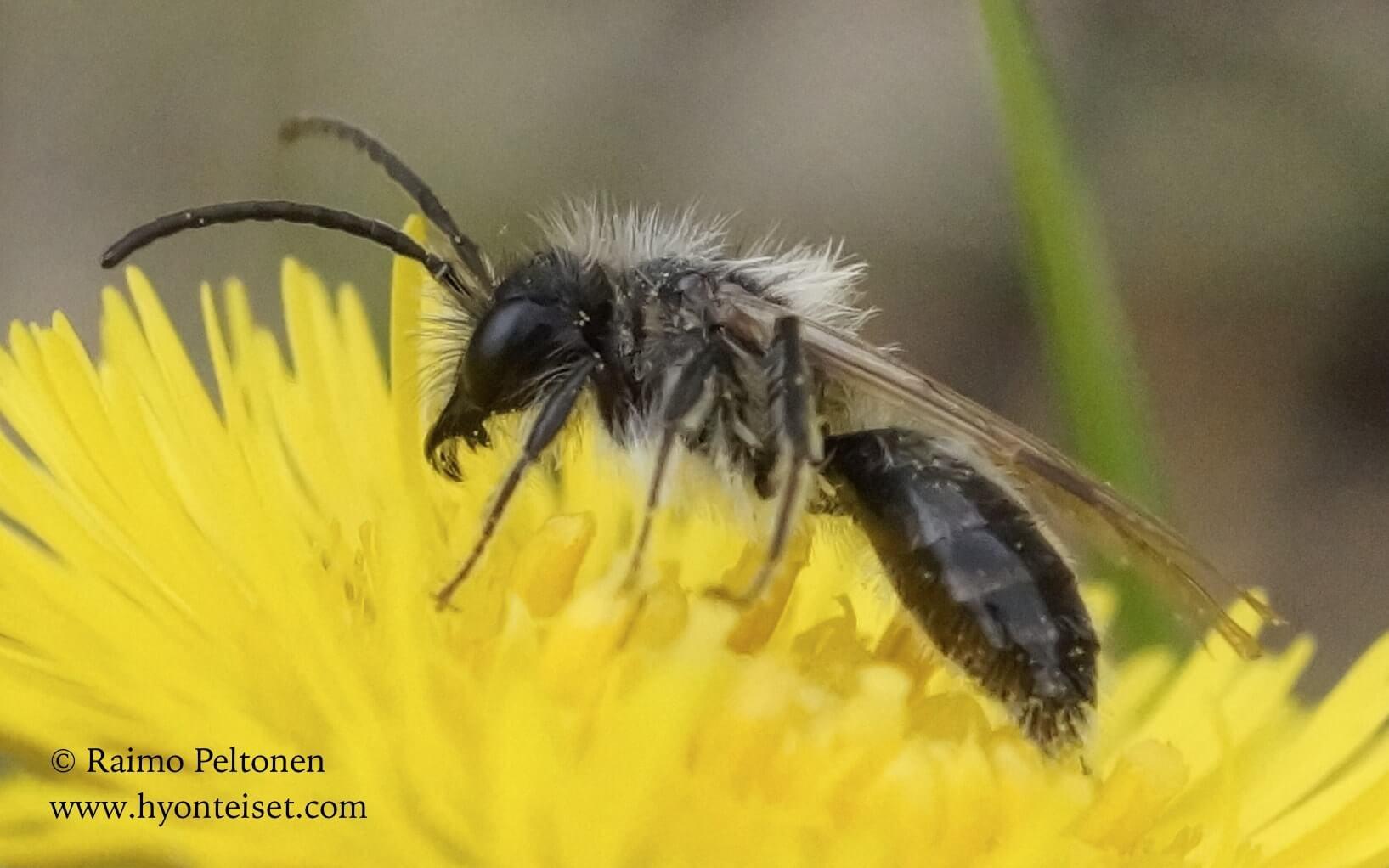 Andrena praecox-hammasmaamehiläinen, koiras (det. Juho Paukkunen)