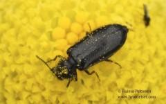 Aplocnemus sp.