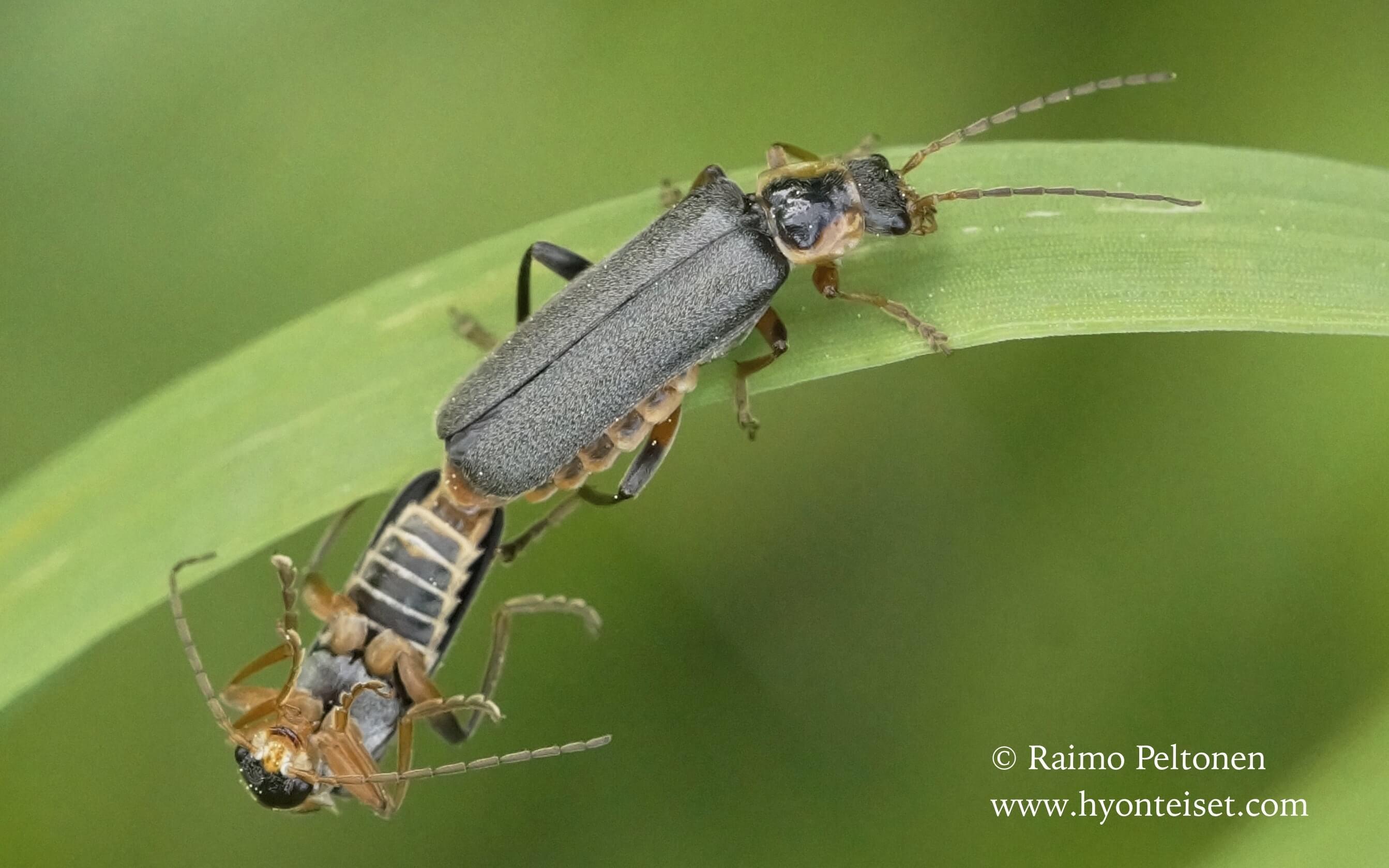 Cantharis nigricans-havusylkikuoriainen