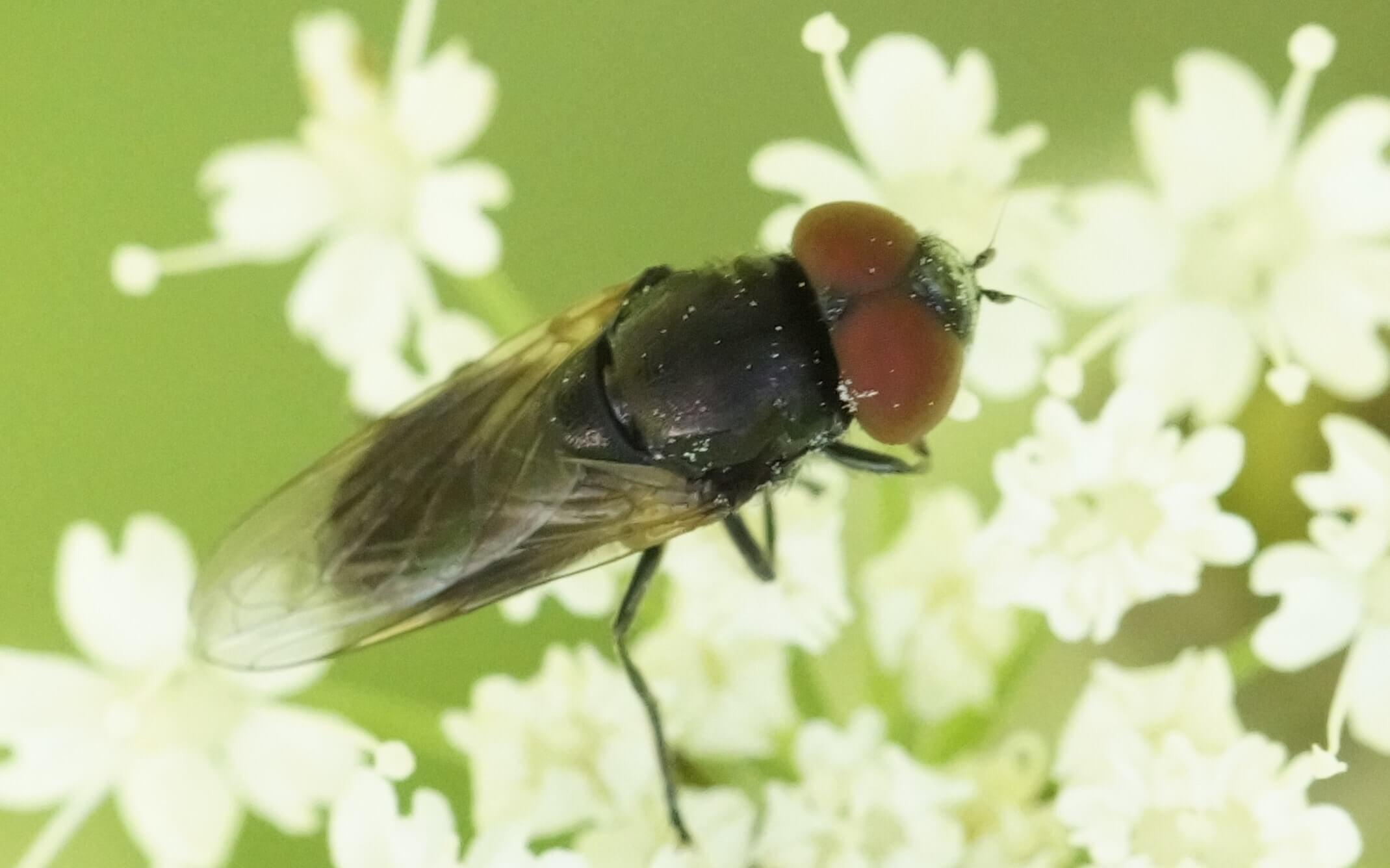 Chrysogaster coemiteriorum-keltasiipivaskinen, koiras