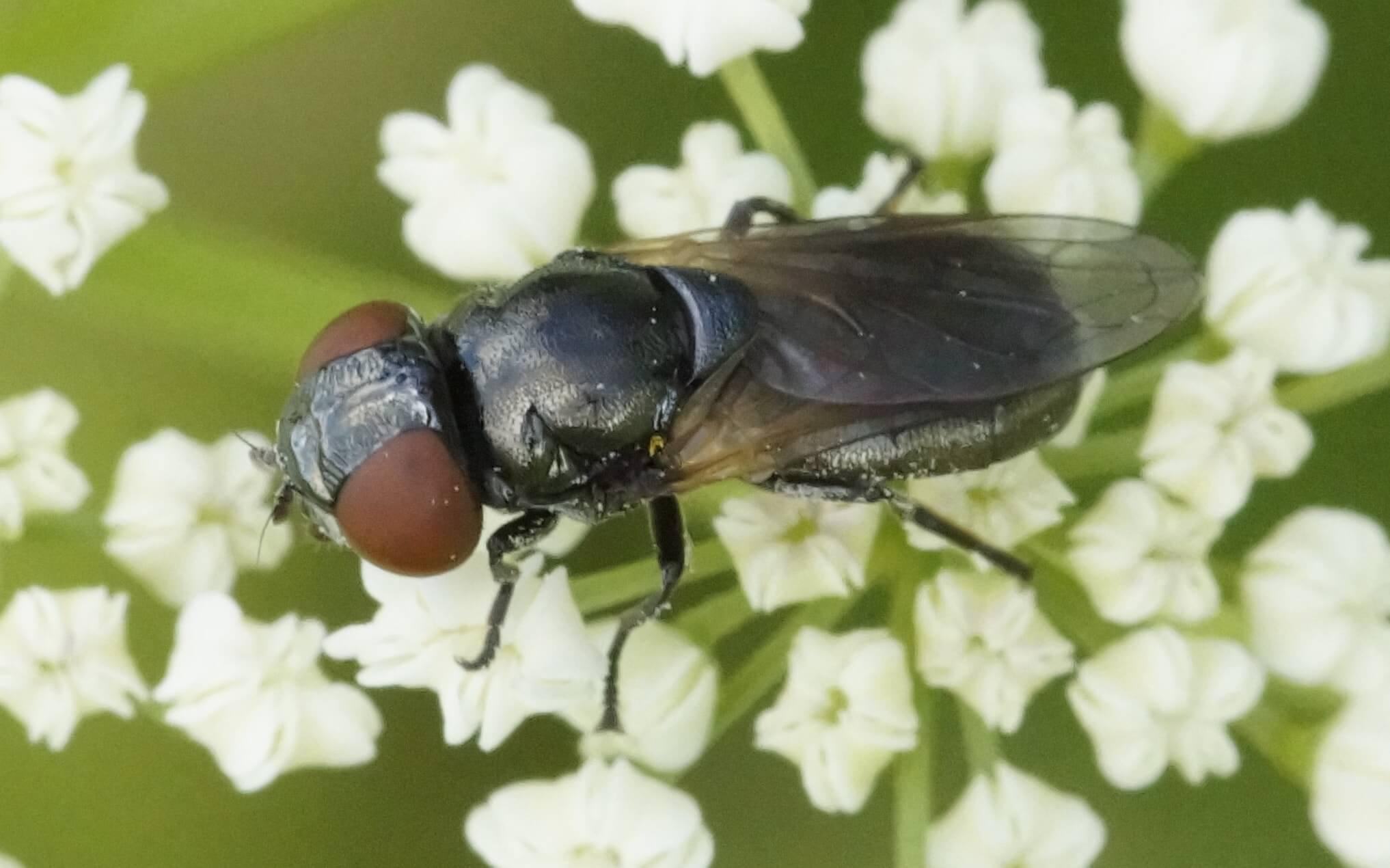Chrysogaster coemiteriorum-keltasiipivaskinen, naaras