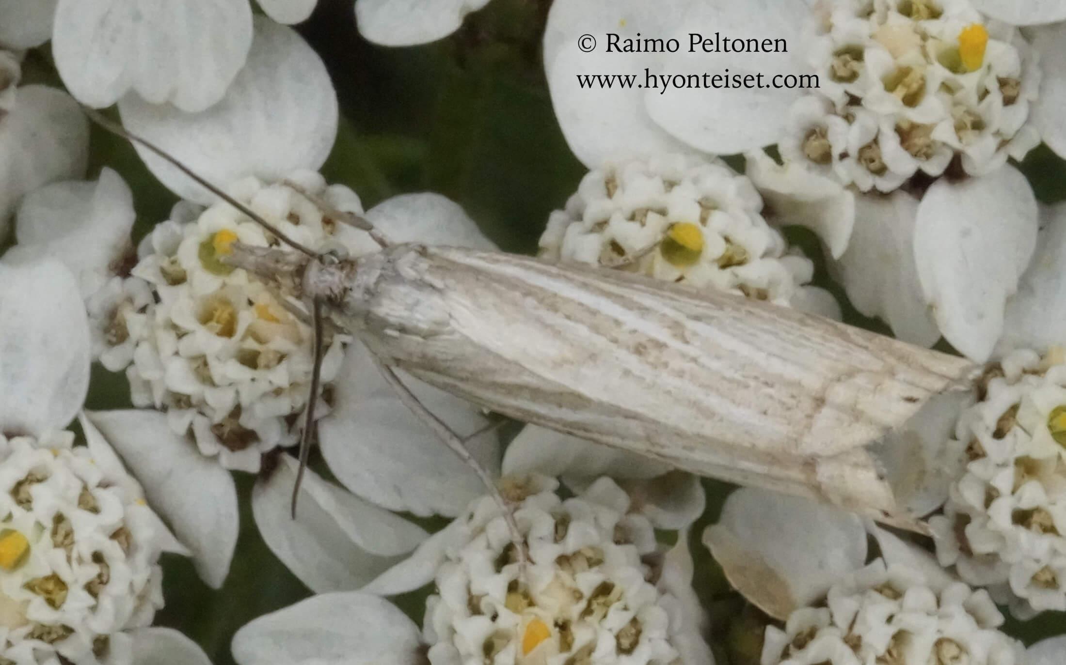 Chrysoteuchia culmella-harmoheinäkoisa (det. Harri Jalava)