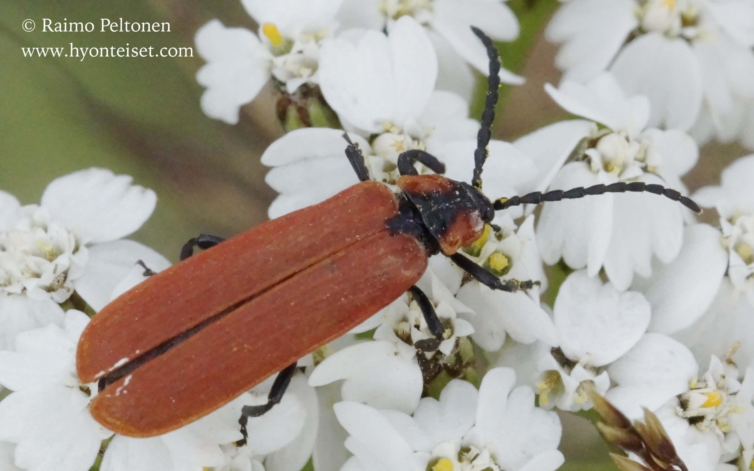 Lygistopterus sanguineus-rusokuoriainen