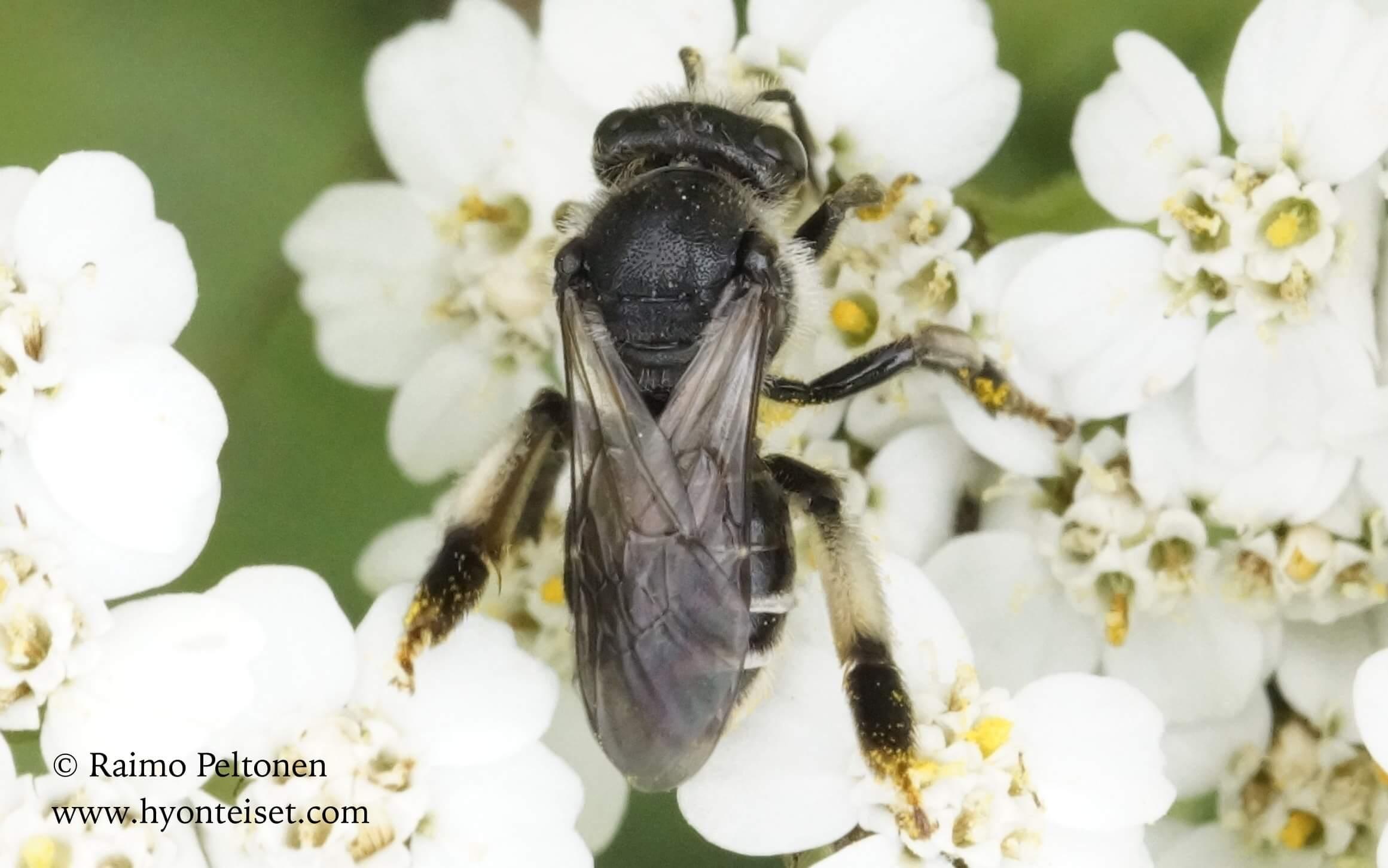 Macropis europaea, naaras (det. Juho Paukkunen)