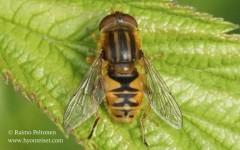 Parhelophilus versicolor 1