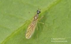 Phyllodromia melanocephala 1