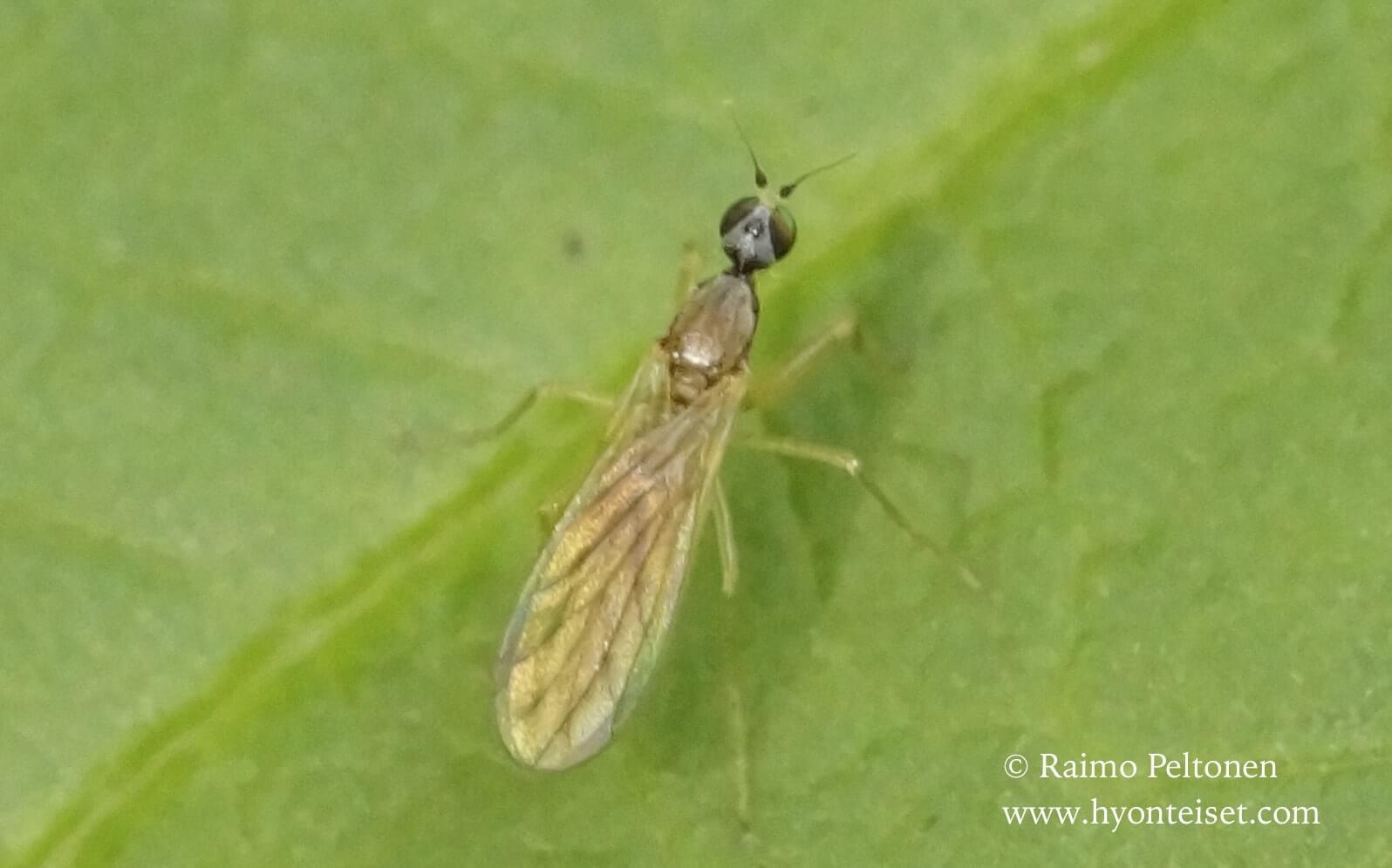 Phyllodromia melanocephala (det. Paul Beuk)