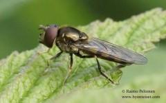 Platycheirus peltatus/nielseni 2