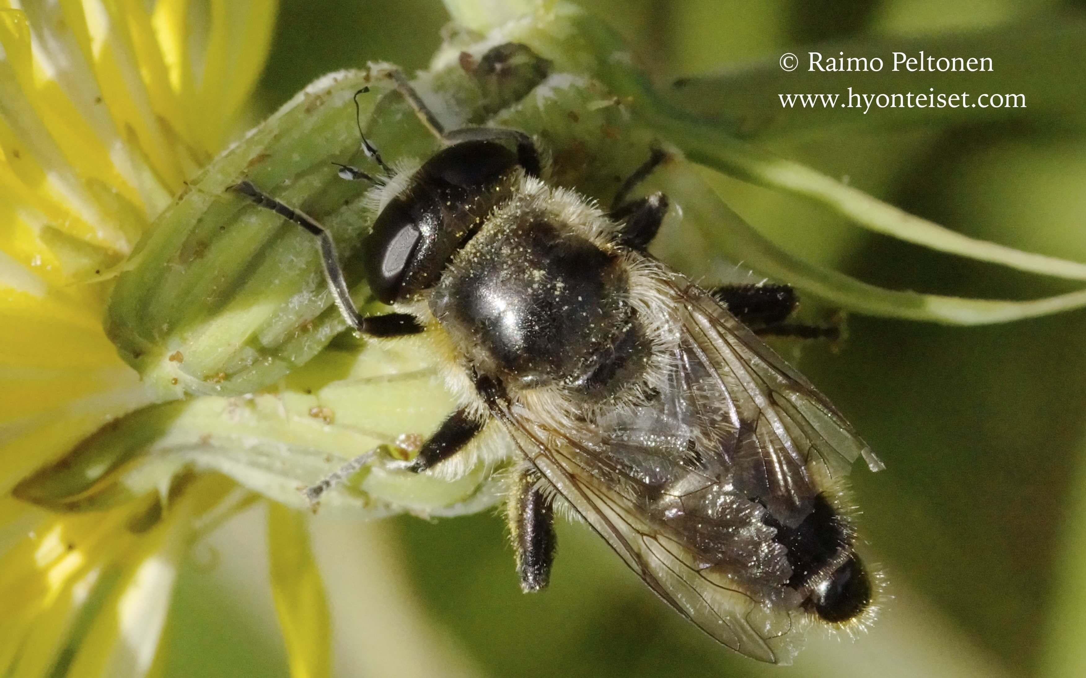 Platynochaetus setosus (Syrphidae) (det. Piluca Alvarez) MALLORCA