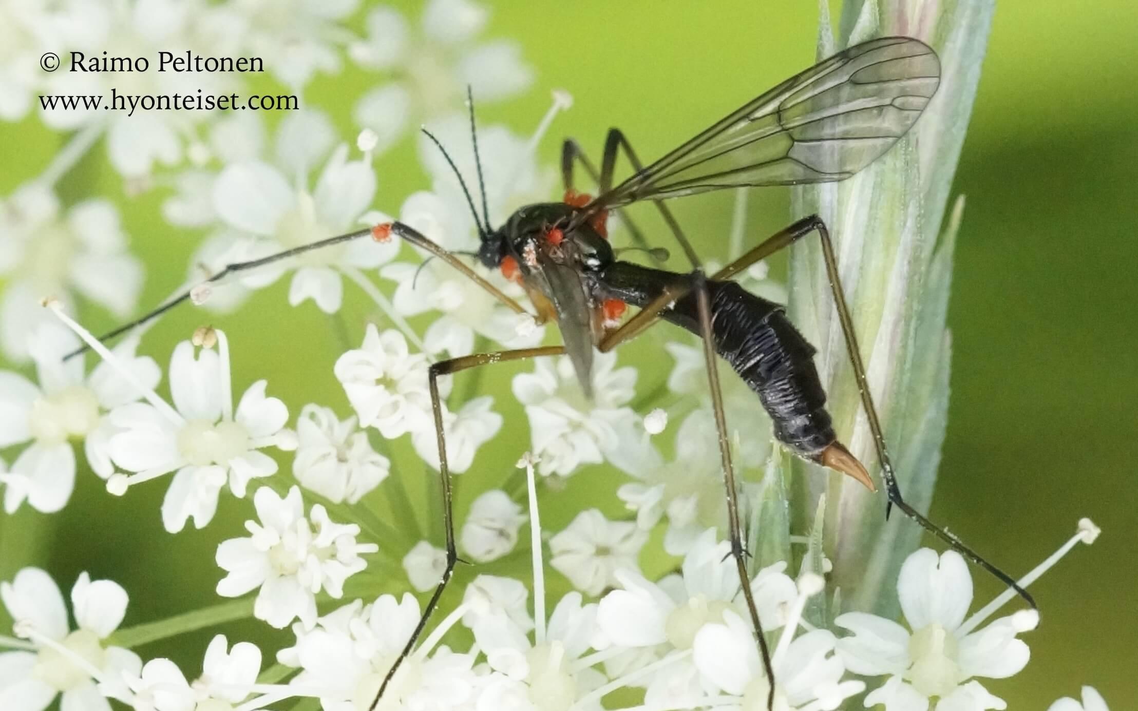 Ptychoptera sp., naaras (det. Bjoern Rulik)