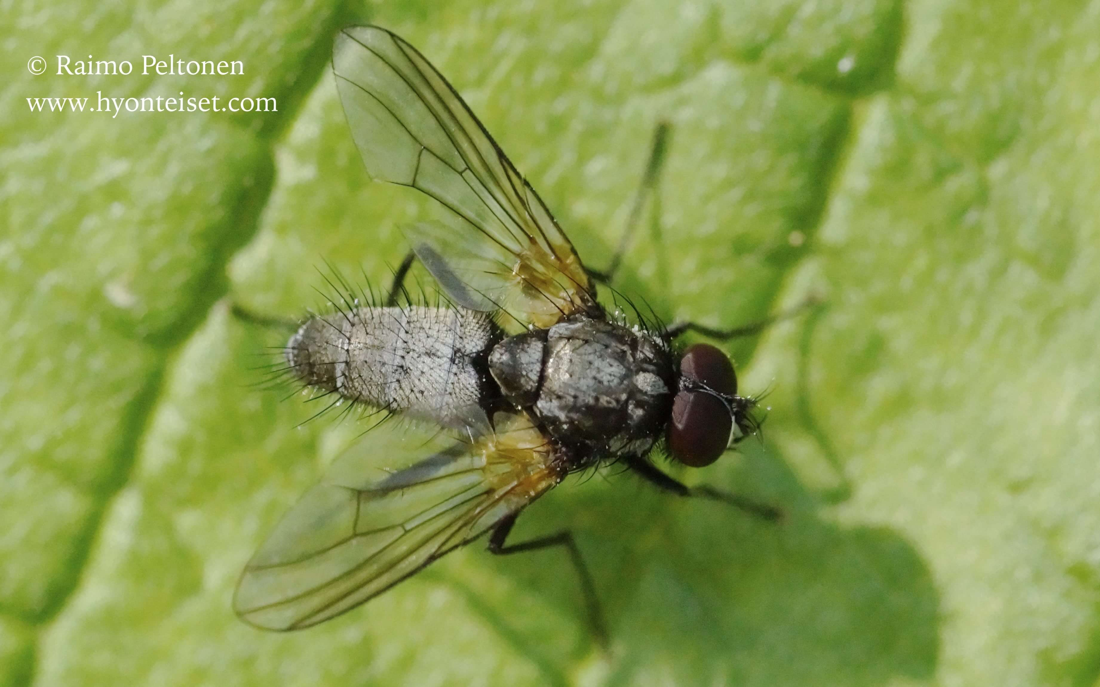 Thricops cf. nigricornis (det. Stephane Lebrun)