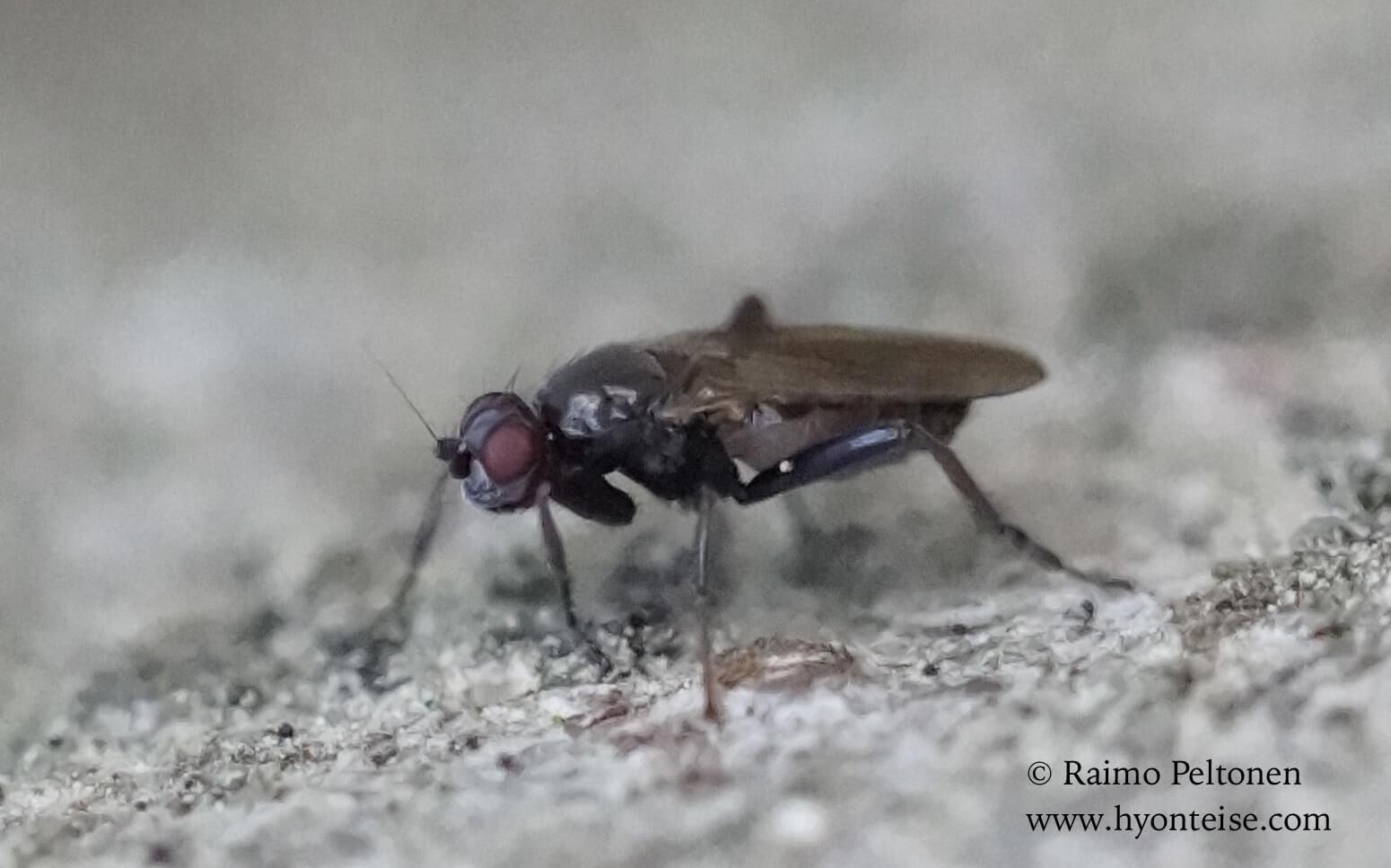 cf. Copromyza sp. (det. Paul Beuk)