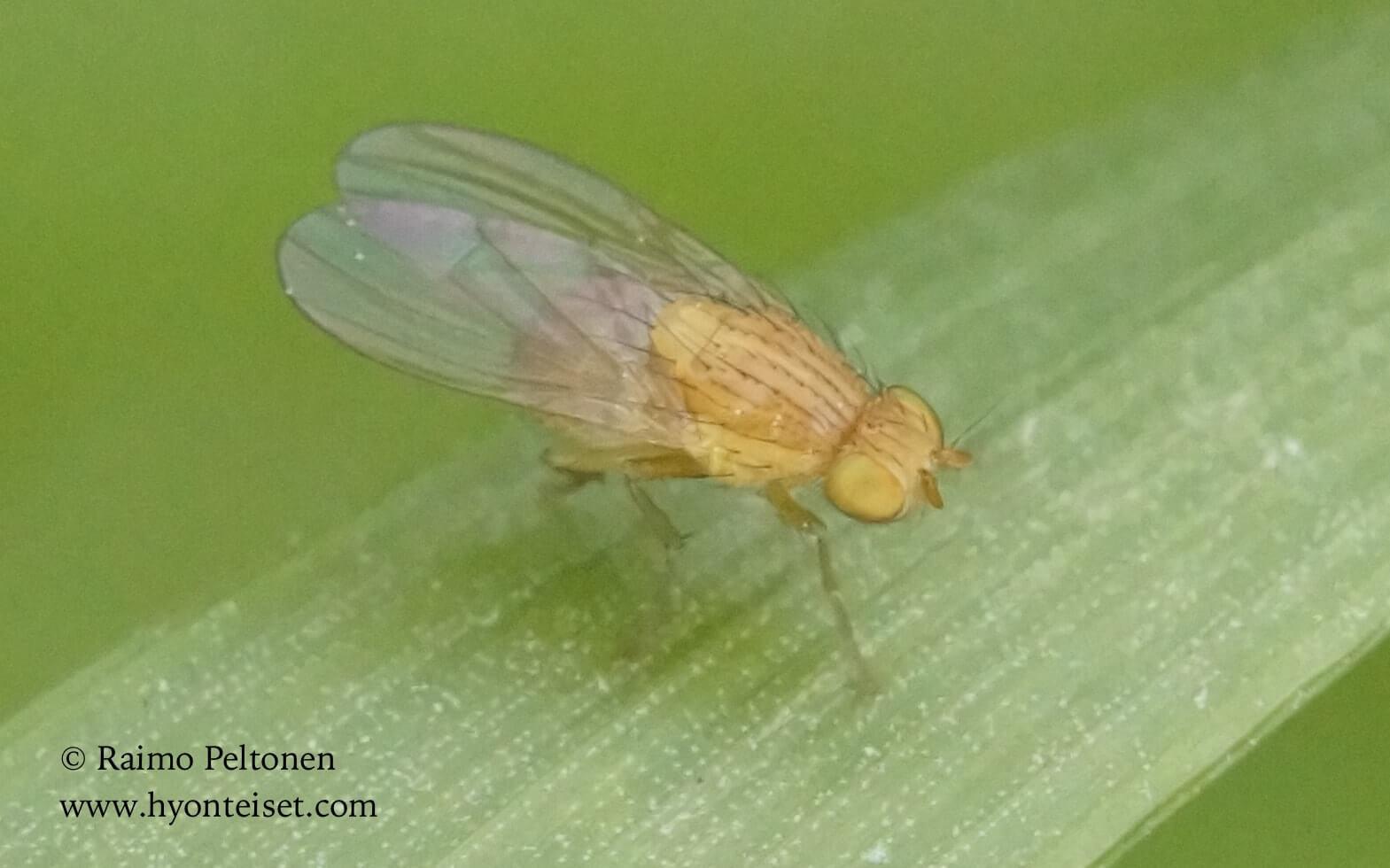 cf. Homoneura sp. (det. Paul Beuk)