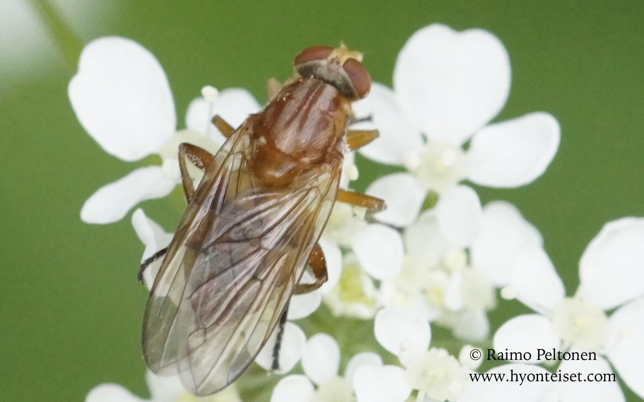 Brachyopa testacea-kantomahlanen
