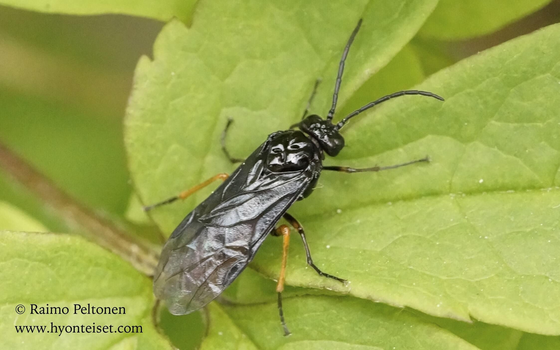 Eurhadinoceraea ventralis, naaras (det. Veli Vikberg)