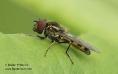 Platycheirus cf. peltatus 2