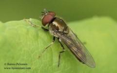 Platycheirus cf. peltatus 1